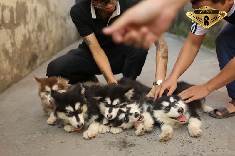 Top 5 hội yêu chó Alaska tại Việt Nam