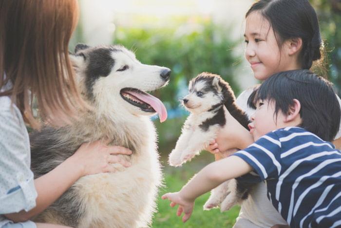 Tìm hiểu top 5 lợi ích khi nuôi chó Alaska trong nhà