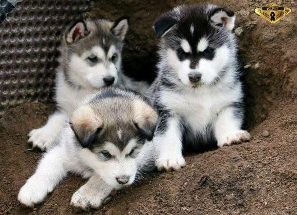 Kinh nghiệm dạy chó Alaska đi vệ sinh đúng cách