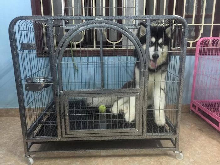 Top 5 sai lầm khi nuôi chó Alaska mà các bạn cần biết