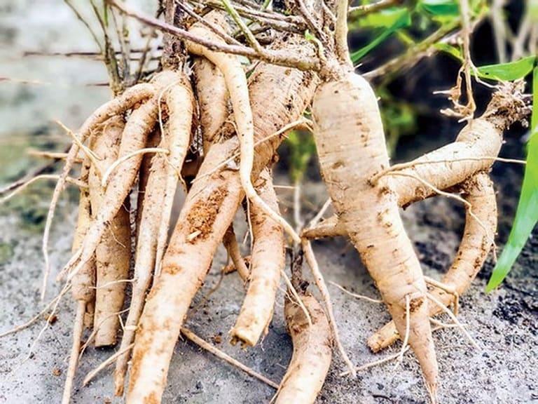 Sâm bố chính: cây thuốc quý của người Việt Nam